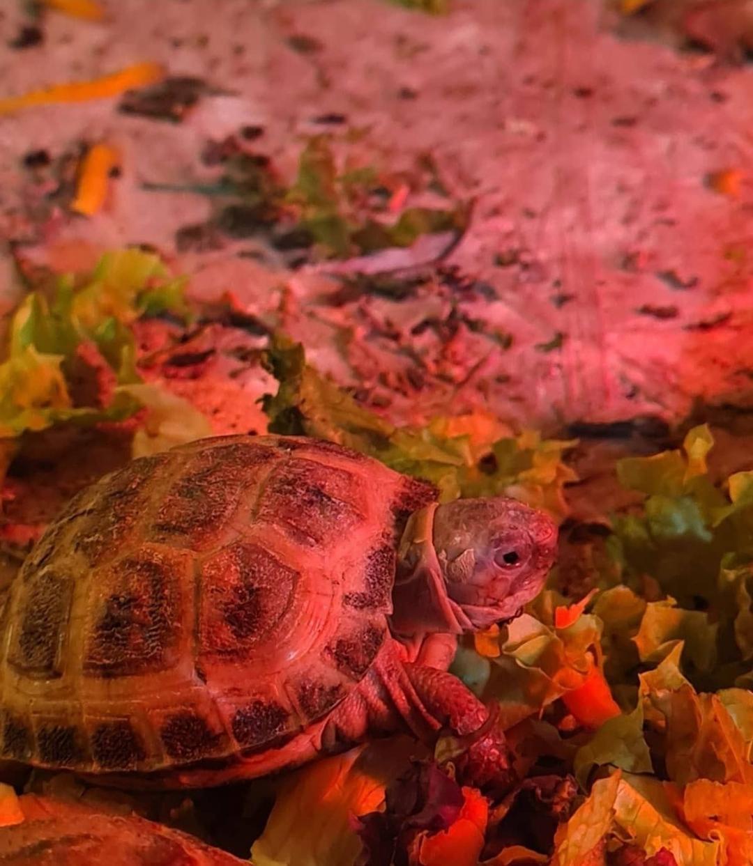 Черепахи сухопутные продам